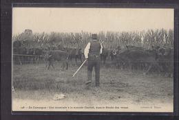 CPA 13 - PROVENCE - En CAMARGUE - Une Muselade à La Manade Combet , Dans Le Bouâo Des Veaux - GARDIAN TAUREAUX - Francia