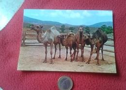 POSTAL POST CARD CARTE POSTALE 1566 MARRUECOS MOROCCO TÍPICO CAMELLOS CHAMEAUX CAMELS ED. BEASCOA VER FOTO CAMEL CAMELLO - Animales