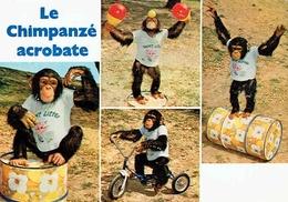 """FRÉJUS : Parc Zoologique - Le Chimpanzé Acrobate """" Kimbo """" - Frejus"""