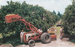 FLORIDE - RECOLTE D'AGRUMES - Etats-Unis