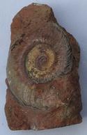 Ammonite Sur Gangue - Fossils