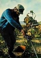 Vignes - Champagne - Les Vendanges - Raisins - Carte Neuve - Voir Scans Recto-Verso - Vigne
