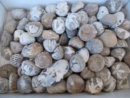 Varia (im Briefmarkenkatalog): Karton Mit über 120 Versteinerten Seeigel Aus Der Kreideformation Von - Andere Sammlungen