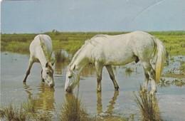 CHEVALS CABALLOS HORSES CPA CIRCULEE YEAR 1981 GERMANY BANDELETA PARLANTE - BLEUP - Caballos