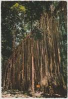 Australia QUEENSLAND QLD Fig Tree Near CAIRNS Engelander Kruger 799/25 Postcard C1960s - Cairns