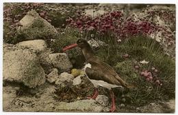 BIRDS : OYSTER CATCHER, SCILLY ISLES - Birds