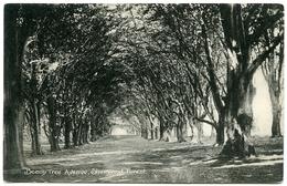 ENGLAND : SHERWOOD FOREST - BEECH TREE AVENUE - Trees