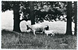 CHILLINGHAM WILD CATTLE - Breeding