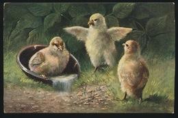 Poulet Poussins Kip Kuikens - Oiseaux