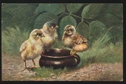 Poulet Poussins Kip Kuikens - Vögel