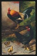 Haan Poulet Poussins Kip Kuikens - Oiseaux