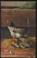Haan Poulet Poussins Kip Kuikens - Birds