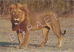 Lion D'Afrique - Parc National Hwange (Zimbabwe-Rhodésie) - Lions