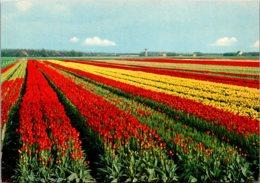 Netherlands Beautiful Tulip Fields - Other