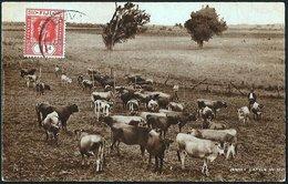 Jersey Cattle In Fiji   1932 - Figi