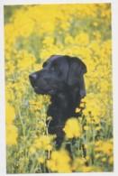 AI39 Animals - Black Labrador Dog - Dogs
