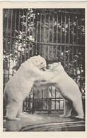 Antwerpen - Anvers:Dierentuin,Zoo,Jardin Zoologique -Tharlarctos Maritimus (Phipps), Ijsbeer - Ours Blanc,Ours Polaire - Bears