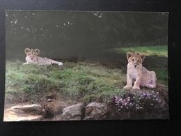 Leones - Lions