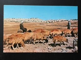 Animal  Rebaño Ovejas. - Animales