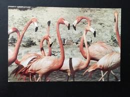 Animal Flamencos - Vögel