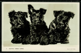 Ref 1308 - Lovely Real Photo Postcard - Scottish Terrier Puppies - Scottie Dogs - Dogs