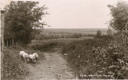 Haut-Fays - Paysage Moutons - Mosa 3945 - Circulé Vers 1959 - SUPER - Daverdisse