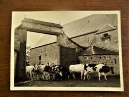 Oude Originele FOTO--KAART  Gevaert  Koeien Door De Grote Poort - Lieux