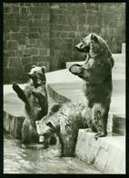 AX Zoological Garden Rostock, Alaska Giant Bears - Orsi
