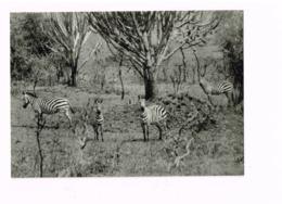 Parc National De La Kagera.Zèbres.Dans La Plaine Uruwita (Ruanda) - Ruanda Urundi