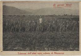 A.L.M.A. MIGLIORAMENTI AGRARI LUCCA 1926 III FIERA CAMPIONARIA LUCCA MASSAROSA - Advertising
