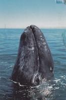 New Born Gray Whale , 1998 ; Baja California Coast , Mexico - Other