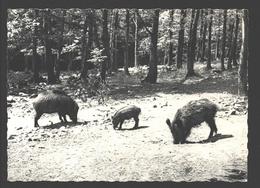 Ardennes Belges - Sangliers Et Marcassin - Everzwijn / Wildschwein / Wild Boar - Animaux & Faune