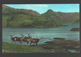 Royal Stag In Velvet - Scottish Highlands - Ecosse
