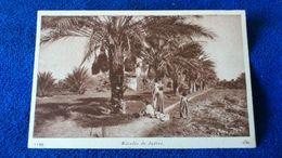 Récolte De Dattes Tunisia - Tunisia