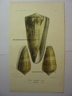 GRAVURE COULEUR COQUILLAGE 1858 - CONUS COELINOE & CONUS DAULLEI - LEVASSEUR DEL & LITH BECQUET FRERES SHELL PRINT - Estampes & Gravures