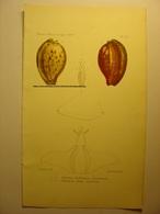 GRAVURE COULEUR COQUILLAGE 1869 - CYPROEA AUBRYANA - NEPHARIS ALATA - LEVASSEUR LITH IMP BECQUET PARIS SHELL PRINT - Estampes & Gravures