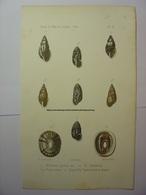 GRAVURE COULEUR COQUILLAGE 1864 - BULIMUS PICTUS AMOENUS PUPA VARIUS - LUNEL HUMBERT LITH IMP BECQUET - SHELL PRINT - Estampes & Gravures