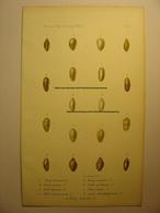 GRAVURE COULEUR COQUILLAGE 1875 - MARG. CHAPERI LANTZII PULVIS VOLV. BAZINI HETEROZONA OSTERI - IMP BECQUET -SHELL PRINT - Estampes & Gravures