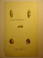 GRAVURE COULEUR COQUILLAGE 1858 - DIBAPHUS PHILIPPII - CAPULUS DANIELI - LEVASSEUR DEL & LITH BECQUET - SHELL PRINT - Estampes & Gravures