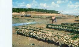 Ile D' Oleron - Collecteurs D' Huitres - Pecheur   U 1667 - Pêche