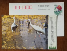 Siberian Crane,rare Migratory Bird,Category 1 Of State Protection List,CN00 Zhalong Nature Reserve Pre-stamped Card - Grues Et Gruiformes