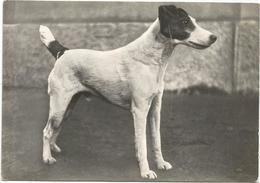 W3526 Cane - Dog - Chien - Hund - Perro - Rebus Di Stresa - Fox Terrier Campione / Non Viaggiata - Cani