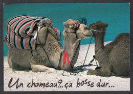 89995/ ANIMAUX HUMORISTIQUES, Chameau, Dromadaire - Animaux & Faune
