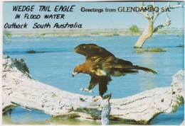 Wedge-Tailed Eagle In Flood Water, Outback South Australia - Unused - Australia