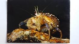 CPSM CRUSTACE BERNARD L HERMITE PAGURUS PRIDEAUXI STATION BIOLOGIQUE ROSCOFF FINISTERE - Fish & Shellfish