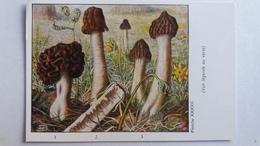 CHAMPIGNON CHAMPIGNONS PLANCHE XXXVIII GYROMITRE FAUSSE MORILLE VERPE MORILLON PUB TERRAMYCINE - Mushrooms