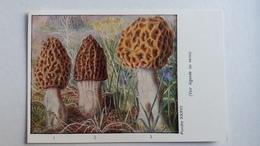 CHAMPIGNON CHAMPIGNONS PLANCHE XXXVII MORILLE NOIRE CONIQUE RONDE  PUB TERRAMYCINE - Mushrooms