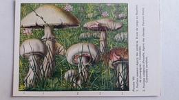 CHAMPIGNON CHAMPIGNONS PLANCHE VIII AGARIC DES JACHERES PRATELLE   PUB TERRAMYCINE - Mushrooms