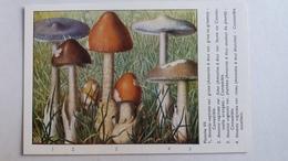 CHAMPIGNON CHAMPIGNONS PLANCHE VII AMANITE A ETUI 4 MODELES   PUB TYZINE - Mushrooms