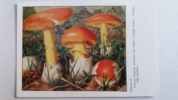 CHAMPIGNON CHAMPIGNONS PLANCHE VI AMANITE DES CESARS ORANGE   PUB TERRAMYCINE - Mushrooms